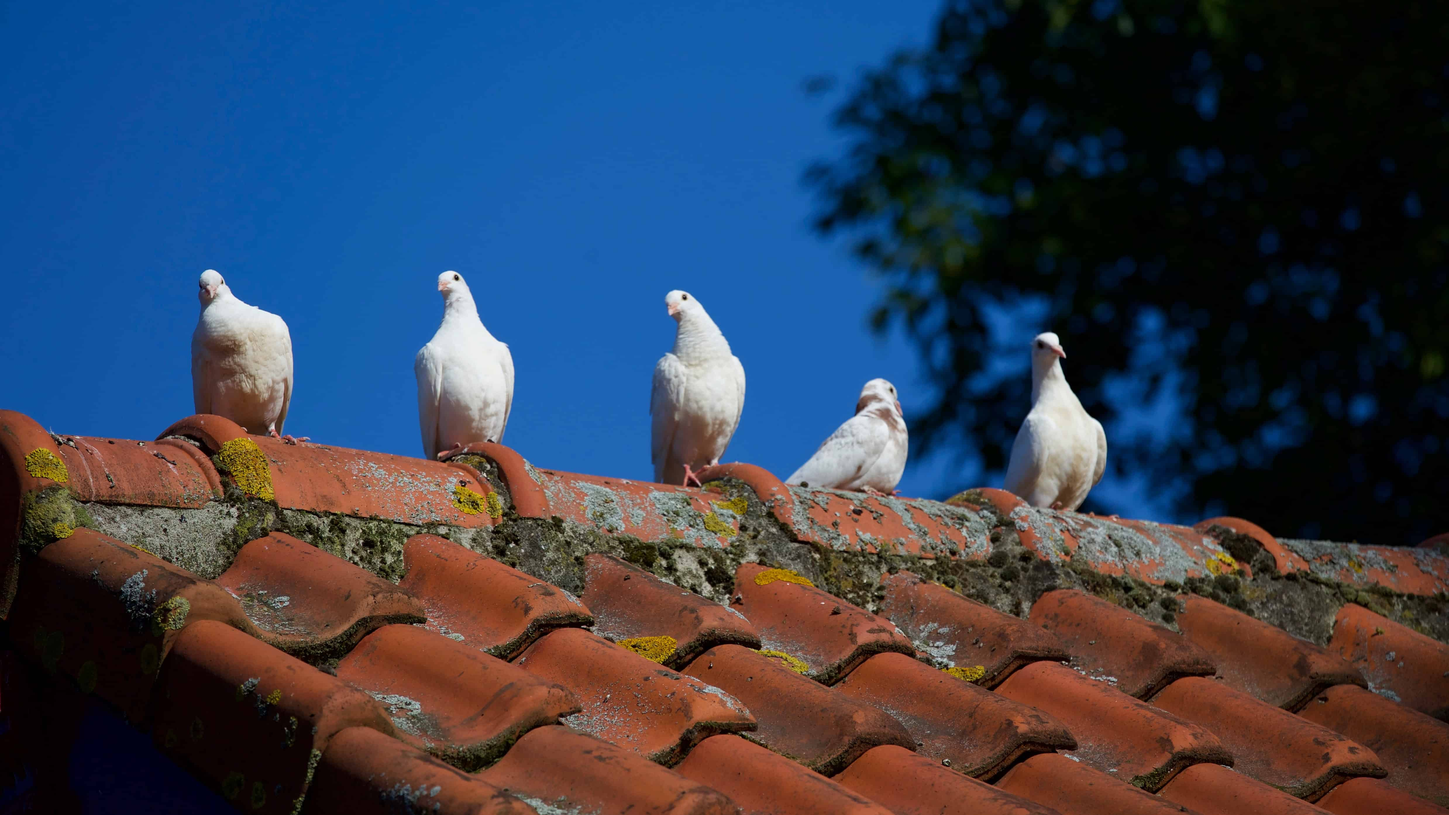 doves on an old, mossy roof